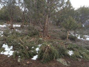More Fire Mitigation Work in the Junipers. What we call cedars.