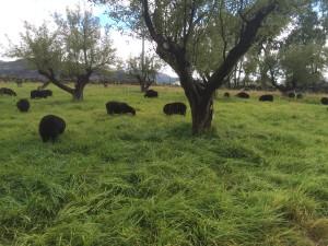 Adult ewes on good fall pasture.