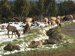 Front Yard Elk