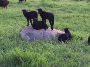 Lambs on a Rock
