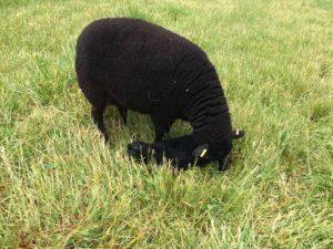 Last lamb of 2016